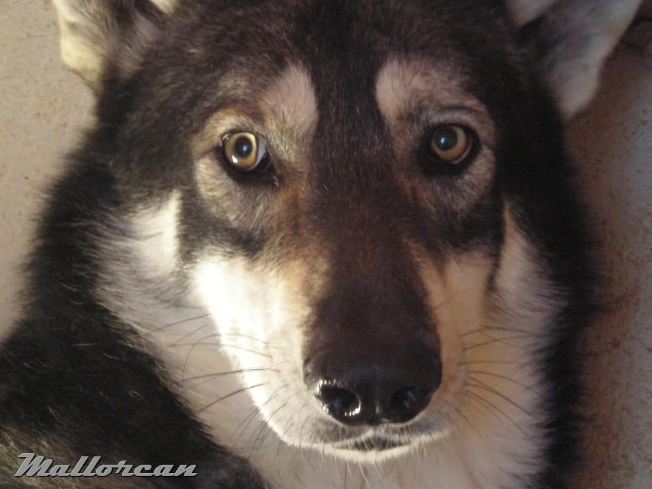 Perro Lobo de Saarloos Aatu y sus ojos amarillos
