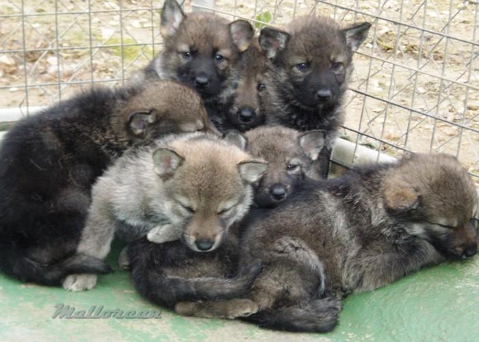 Perros Lobo Iberico Cachorros en pandilla