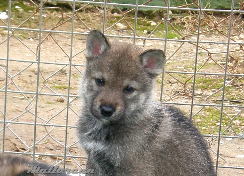 Perro Lobo Ibérico cachorrito gris