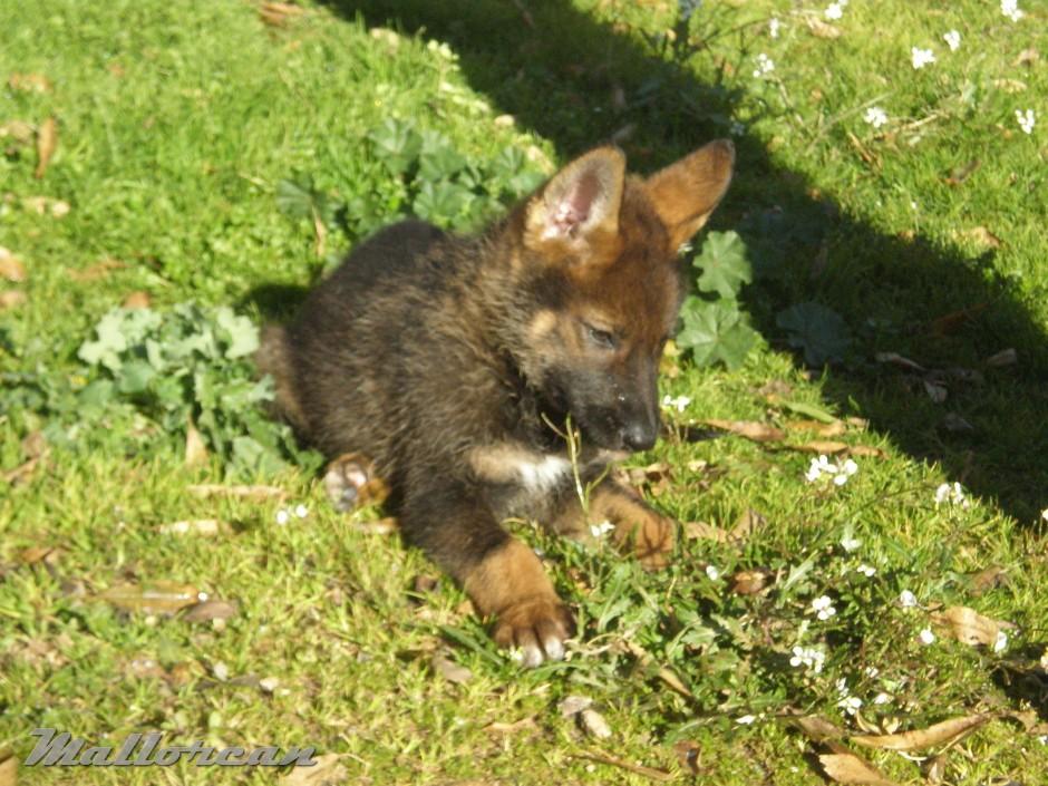 Perro Lobo Iberico Checoslovaco Cachorrito