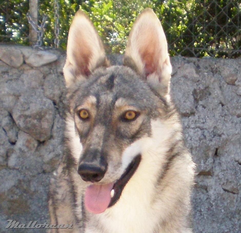 Perro Lobo Iberico 7 meses