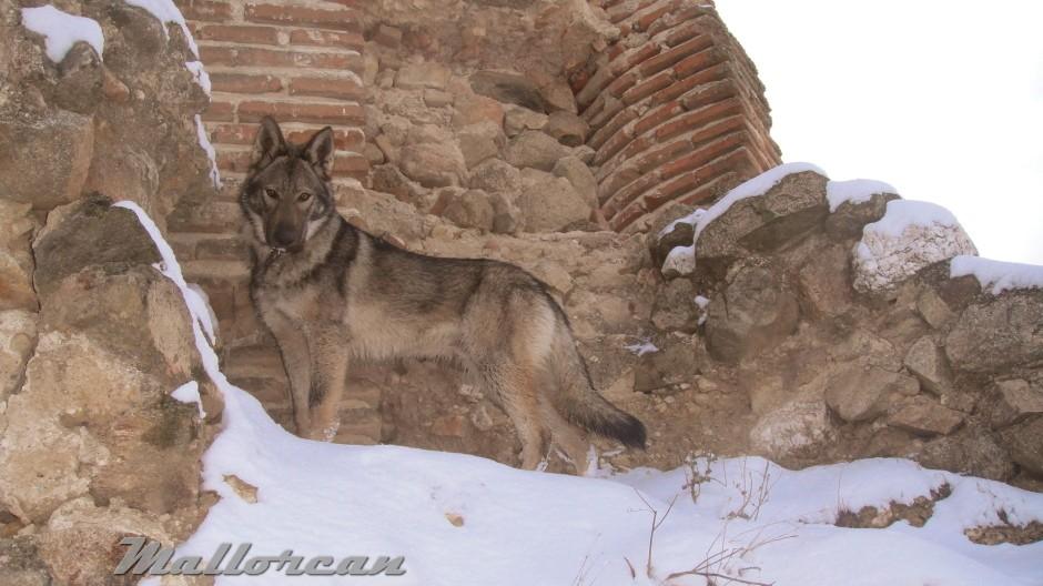 Perro Lobo Ibérico Kassuq solitario
