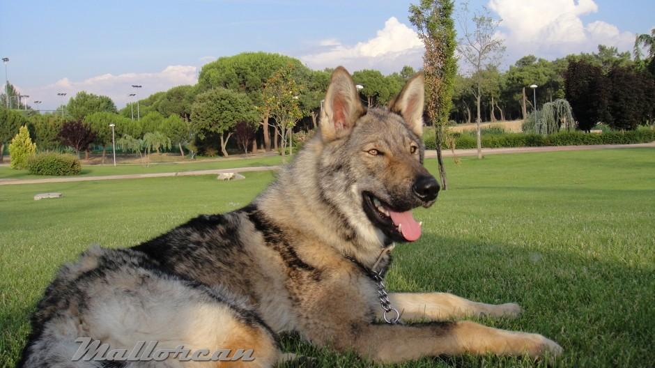 Perro Lobo Ibérico 1 año