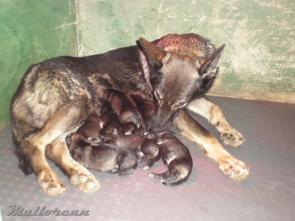 Perra Loba de Ibérico África con sus cachorros