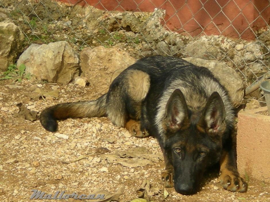 Perro Lobo Ibérico Ramses tumbado
