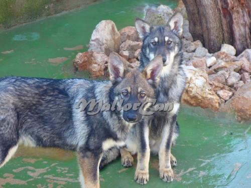 Cachorro Perro Lobo Ibérico-3