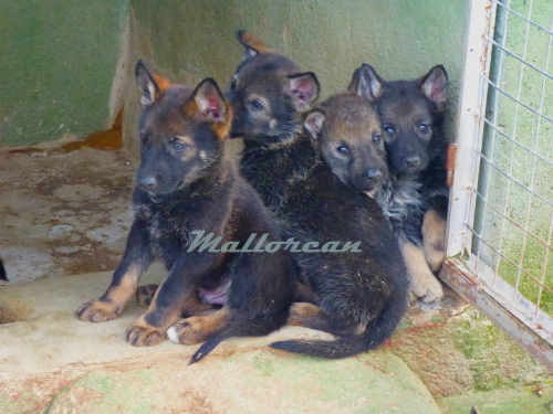 Cachorros Isis y Ramses de MallorCan