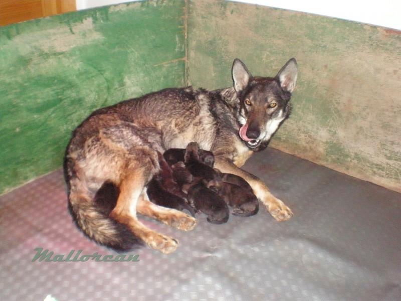 Asía, Perra lobo de iberico pariendo a sus cachorros hijos de Aatu Perro Lobo de Saarloos