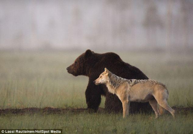 Lobo y Oso-1