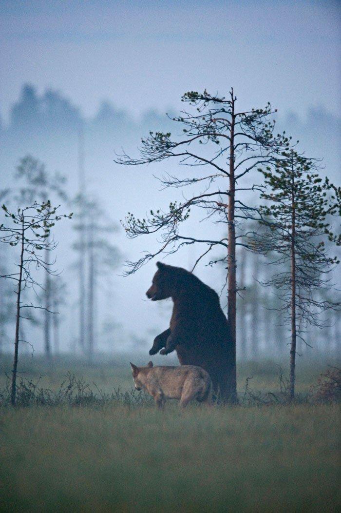Lobo y Oso-7