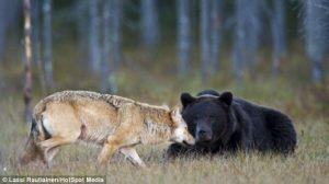 Lobo y Oso-9