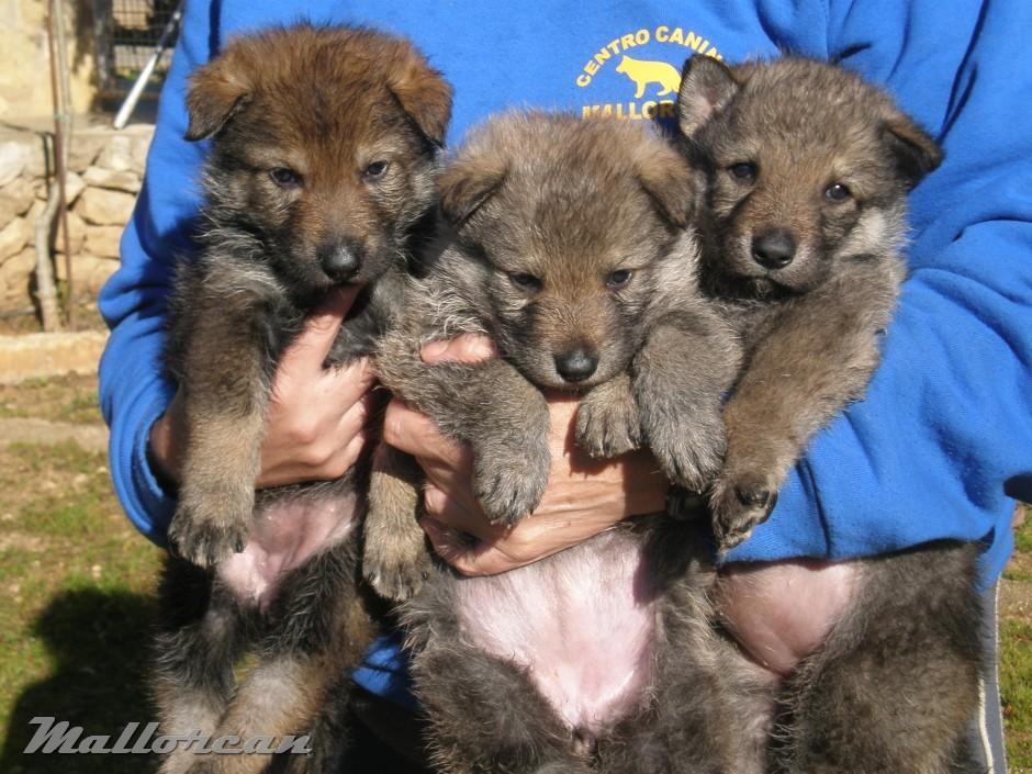 Perros Lobo Ibérico Checoslovaco cachorritos