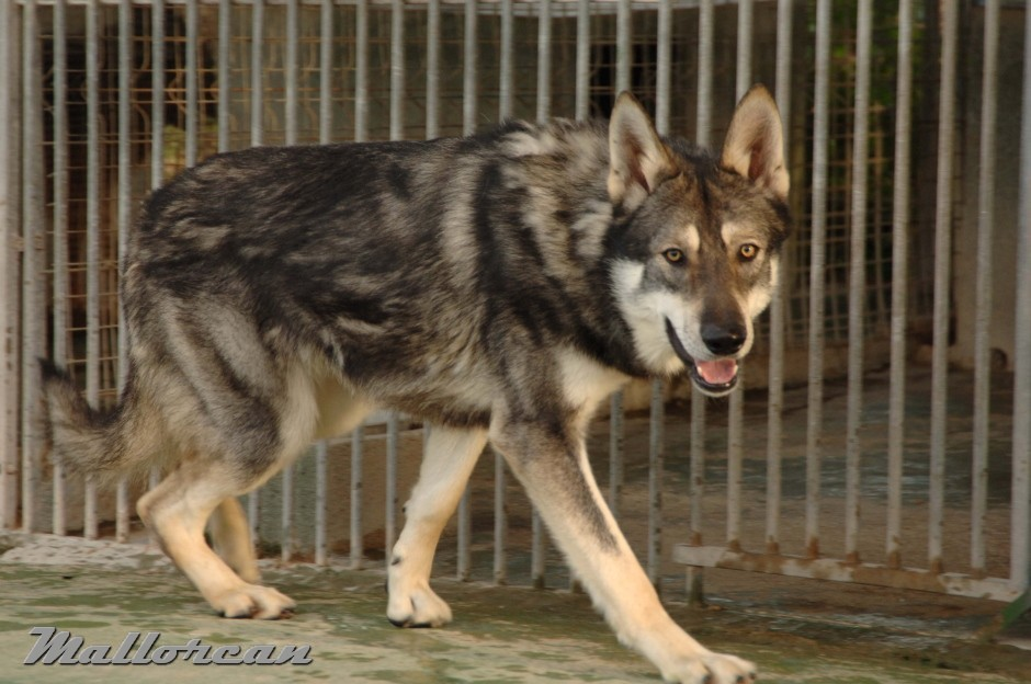 Perro Lobo de Saarloos Aatu