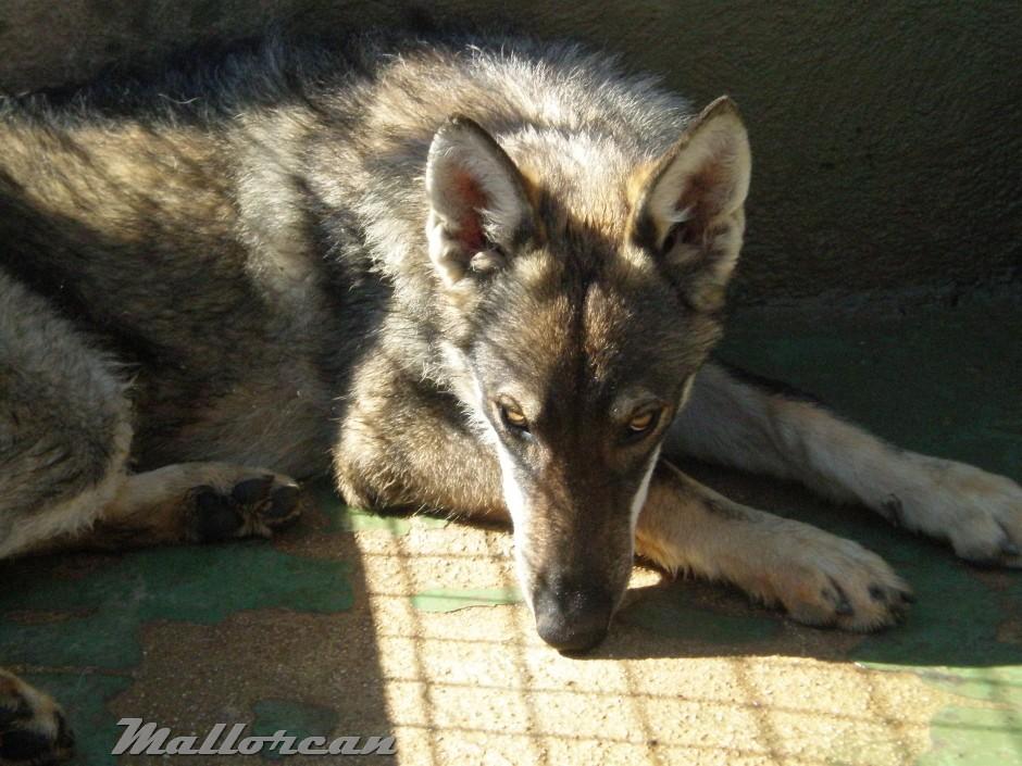 Perro Lobo Ibérico Asia 8 meses