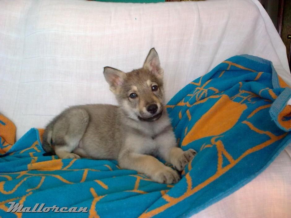 Perro Lobo Iberico Saarloos Cachorro 1 mes
