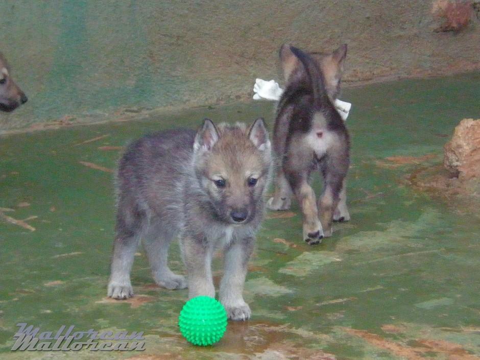 Cachorros Perro Lobo Iberico Saarloos con pelota y hueso