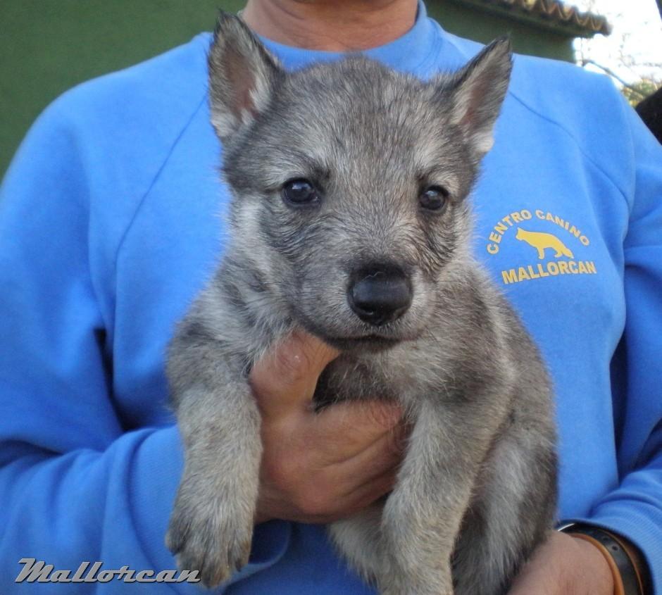 Cachorro Iberico Saarloos 1 mes