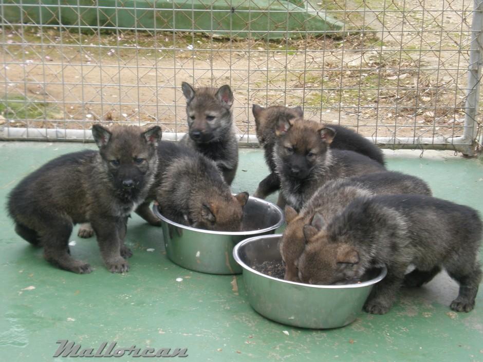 Perros Lobo Iberico comiendo