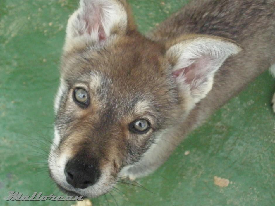 Perro Lobo Iberico Checoslovaco Cachorro