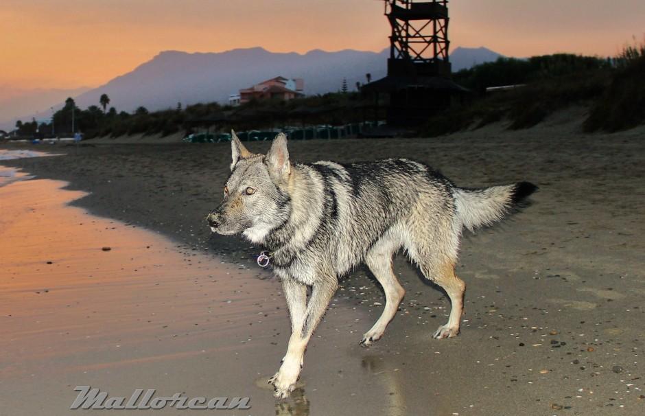 Perro Lobo Iberico Kassuq 7 meses