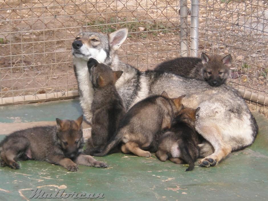 Perro Lobo Ibérico Hembra con sus cachorros