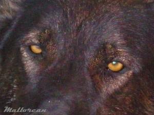 Africa Perra loba de iberico - Mirada Tiene los ojos de un amarillo muy intenso, producen un gran contraste con el pelaje negro y gris oscuro que tiene