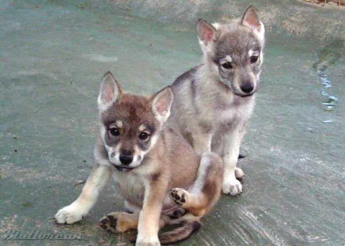 Perro Lobo Iberico Saarloos cachorritos