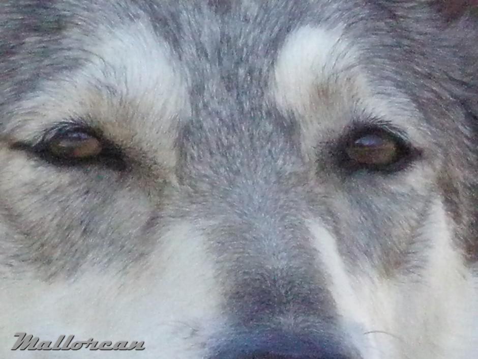 Perro Lobo de Iberico Hembra – Thelma