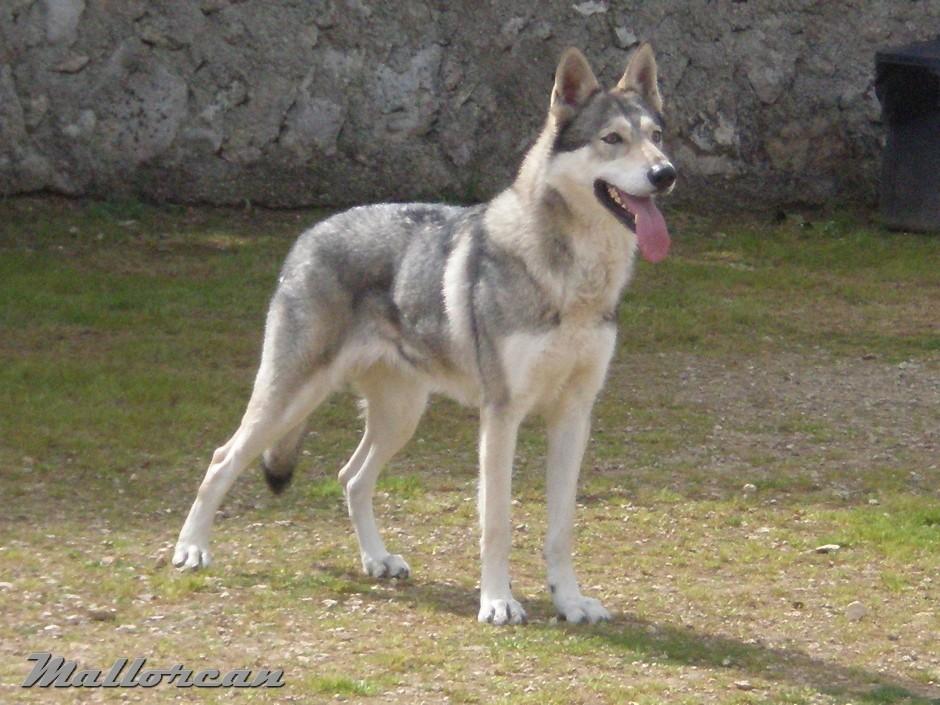 Perro Lobo de Iberico Thelma