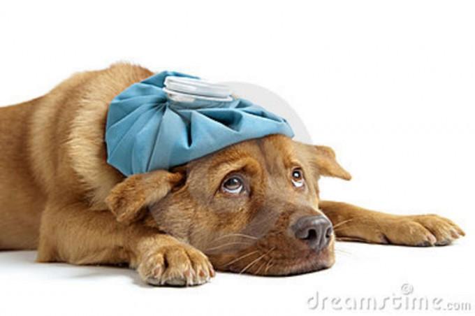 Perro enfermo con bolsa de agua