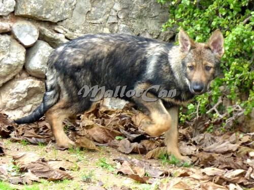 Cachorra de Perra Loba de Iberico Saarloos hija de Aatu y Asia