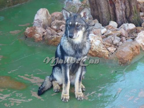 Cachorro Perro Lobo Iberico-2