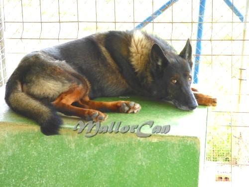 Perro Lobo de Iberico