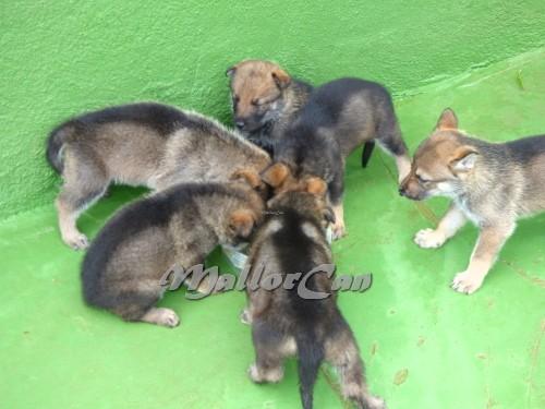 Perros Lobo Iberico