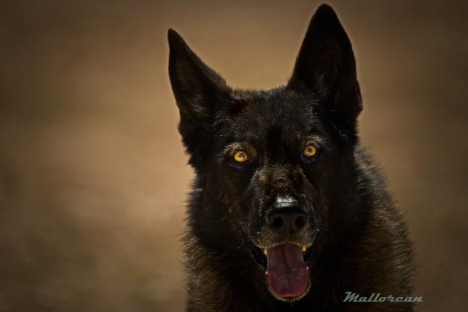Perro Lobo Ibérico