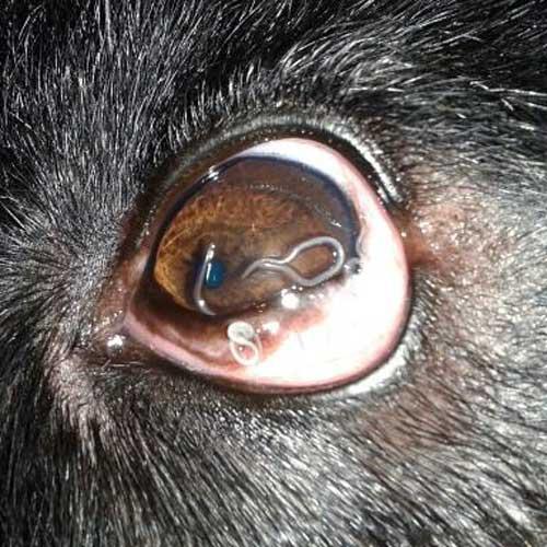 Ojo infectado con el vermes de la Thelazia Canina
