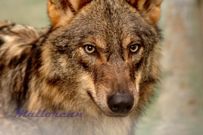 Lobo Ibérico troquelado en Mallorcan