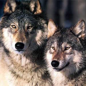 Pareja de Lobos
