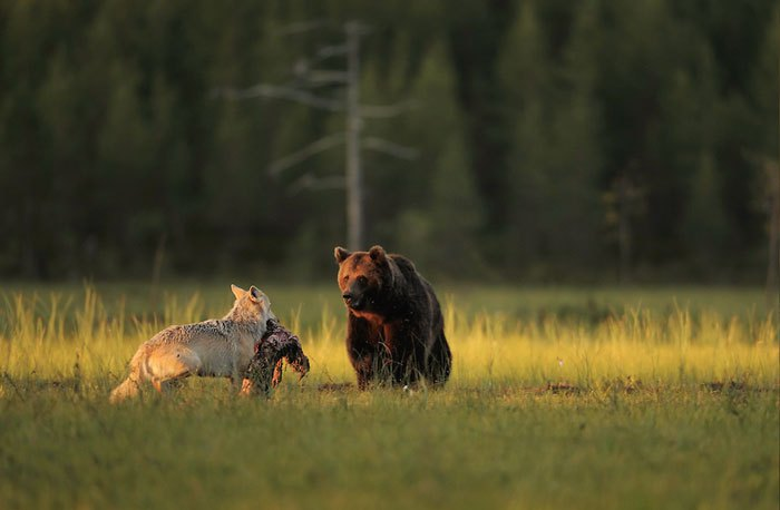Lobo y Oso-5
