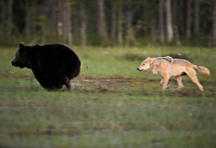 Lobo y Oso-6