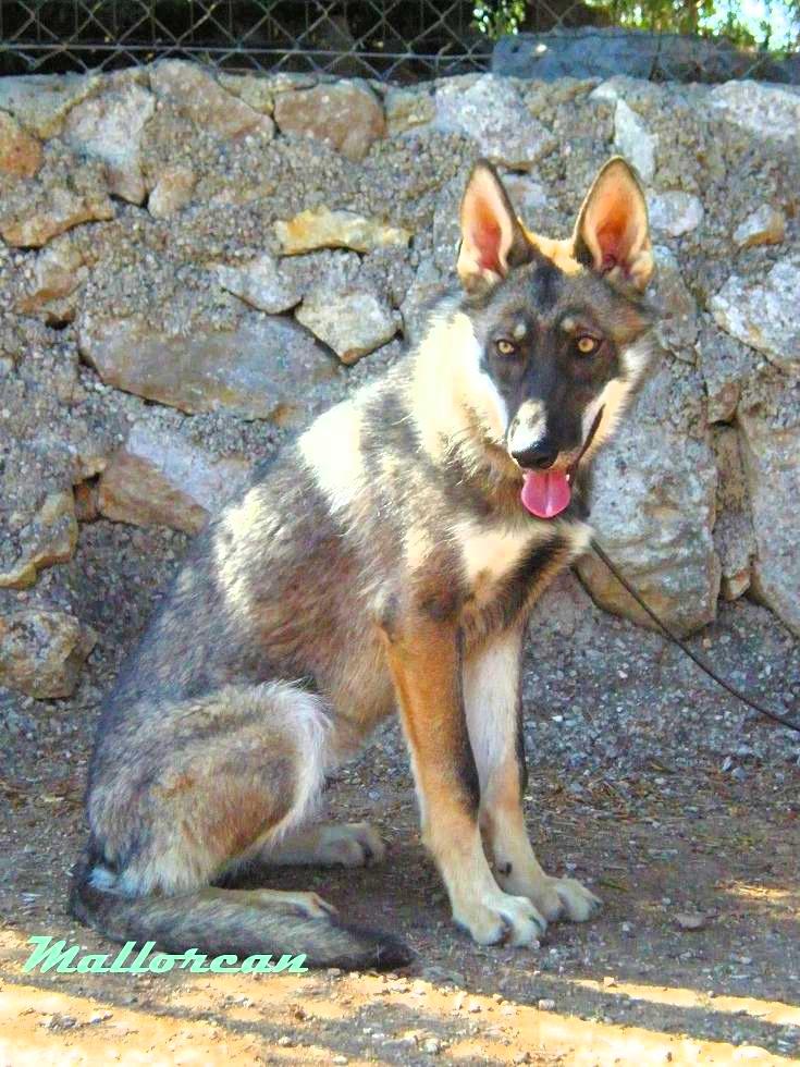 Perro Lobo Iberico de MallorCan